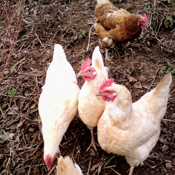 A group of free-range chickens pecking the ground.