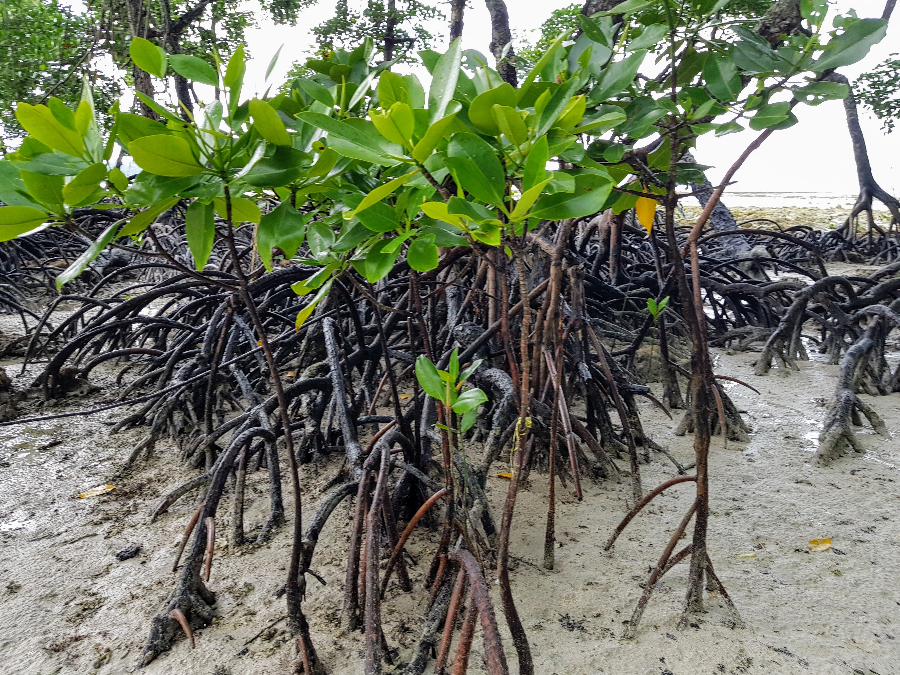 Image: 'Mangrove Tree Roots' - Havelock Island, Andaman and Nicobar Islands, India - October 2018