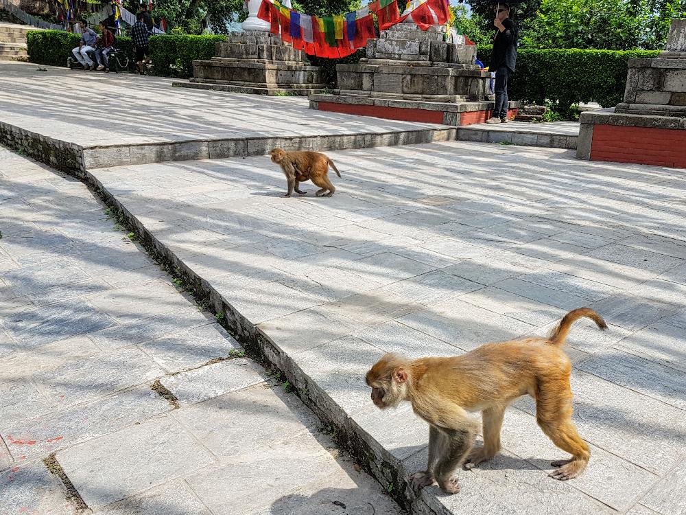 Monkeys crossing temple.
